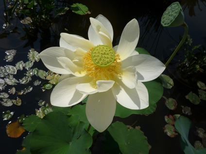 Lotus, Oregan House CA (photo by Peter Aranyi)